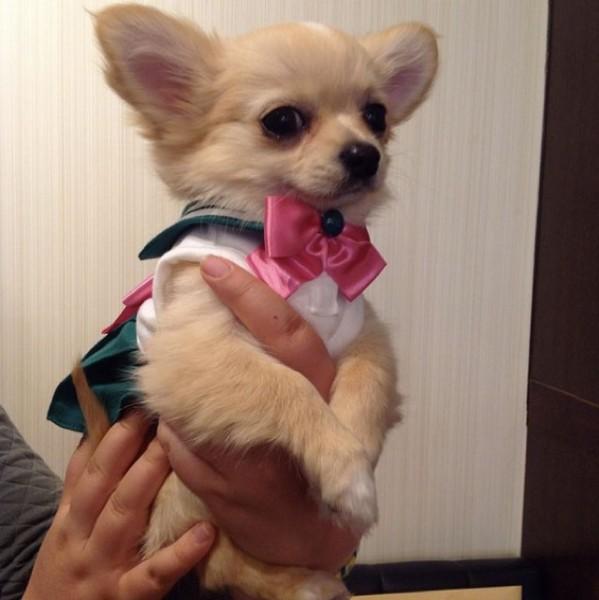Sailor-moon-dog-cosplay-11
