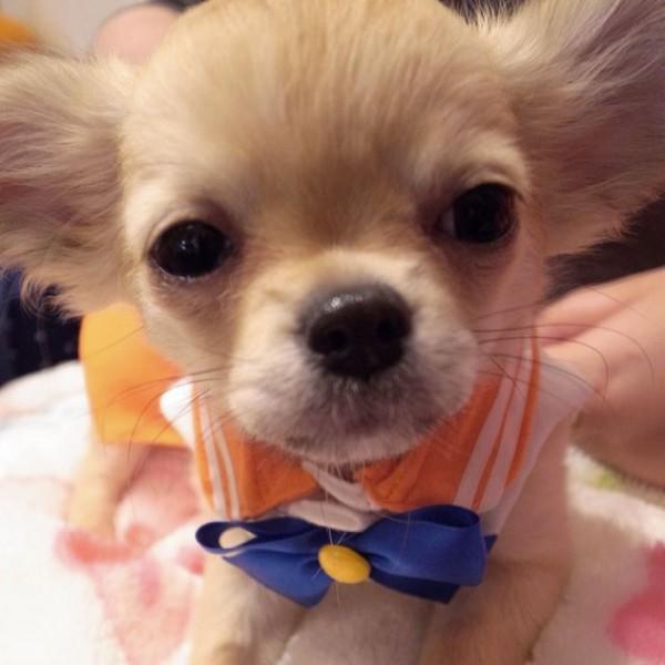 Sailor-moon-dog-cosplay-12