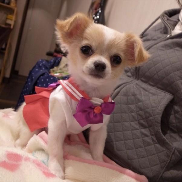 Sailor-moon-dog-cosplay-15